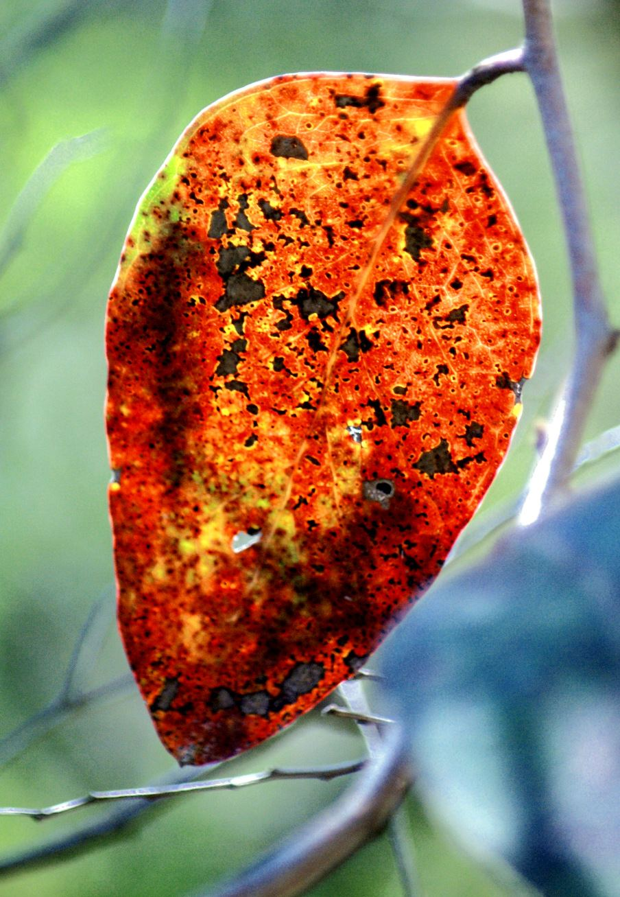 Photo of an orange coloured leaf contrasted against greens of other plants
